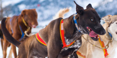 Dog Sledding in Revelstoke