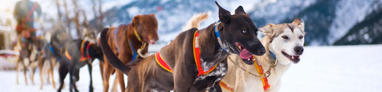 Dog Sledding in Revelstoke