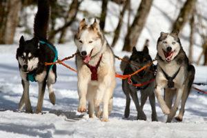 Revelstoke DogSledding Tour