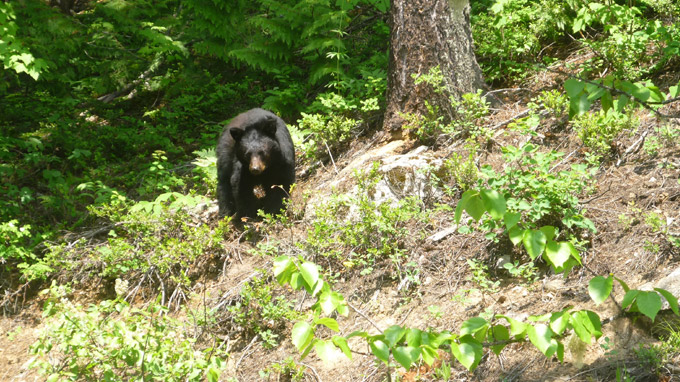 Black Bear in Revelstoke