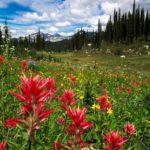 Mount-Revelstoke-meadows-w-Indian-Paintbrush_-Rob-Buchanan
